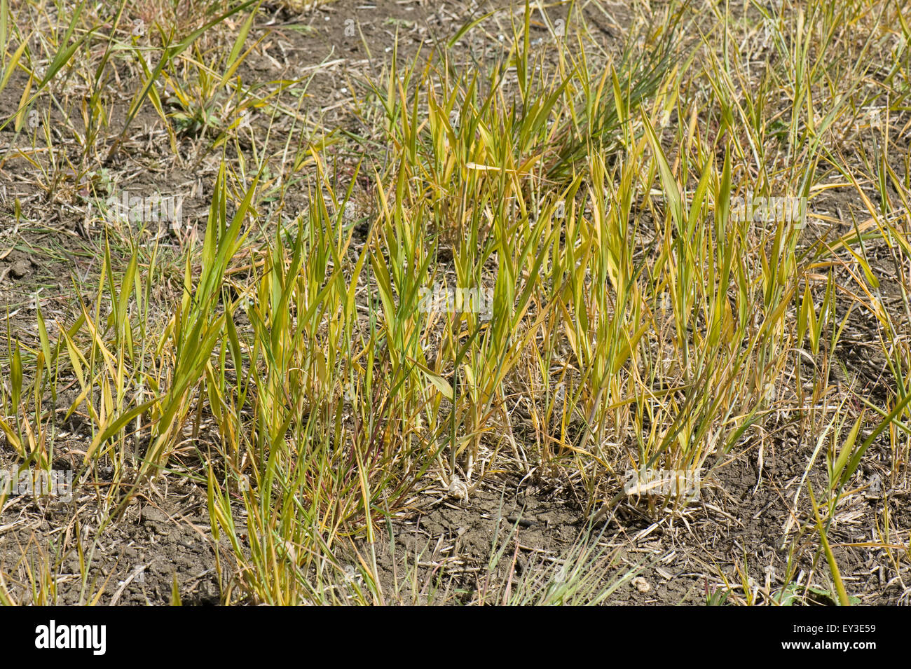 A fallow field with volunteer wheat and both annual and perennial weeds treated with glyphosate prior to cultivation, - Stock Image