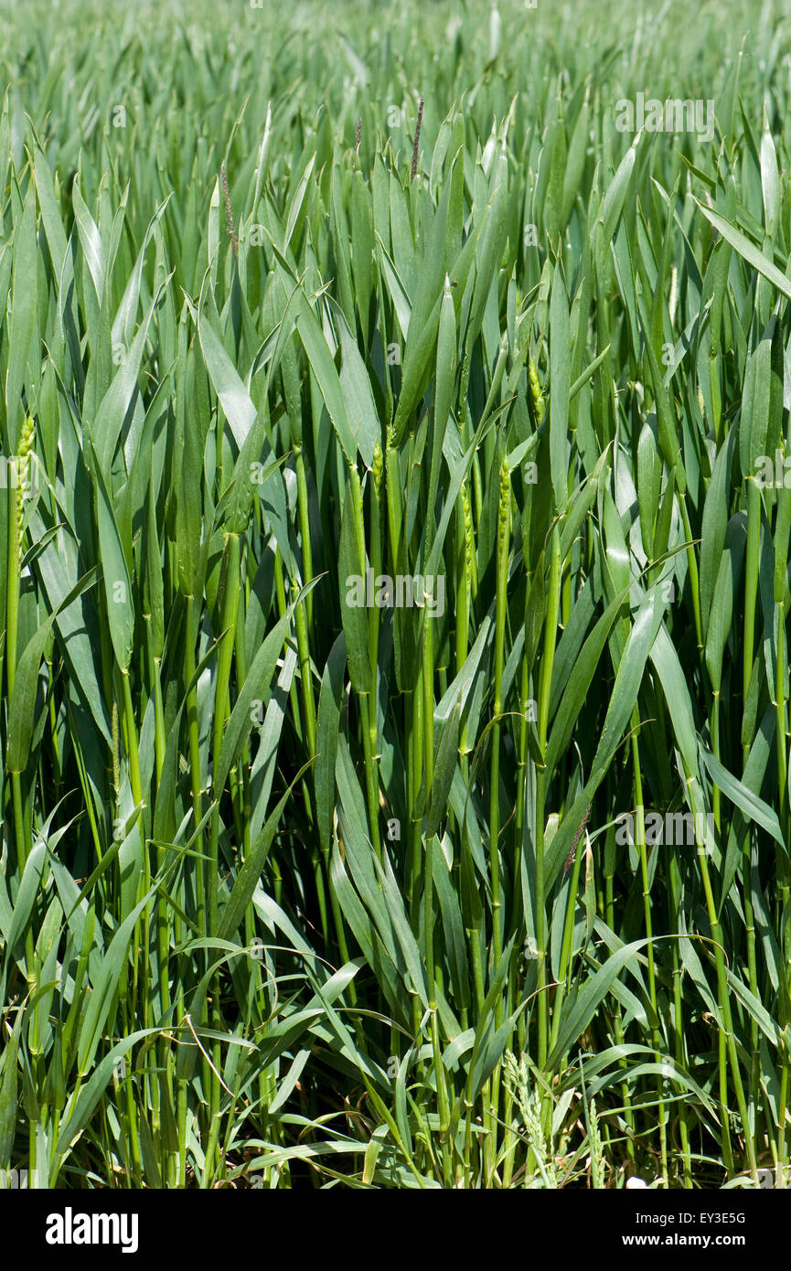 Winter wheat crop between stage 45 in boot but with some ears emerging stage 50, Berkshire, June Stock Photo