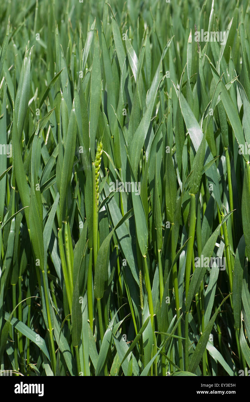 Winter wheat crop between stage 45 in boot but with some ears emerging stage 50, Berkshire, June - Stock Image