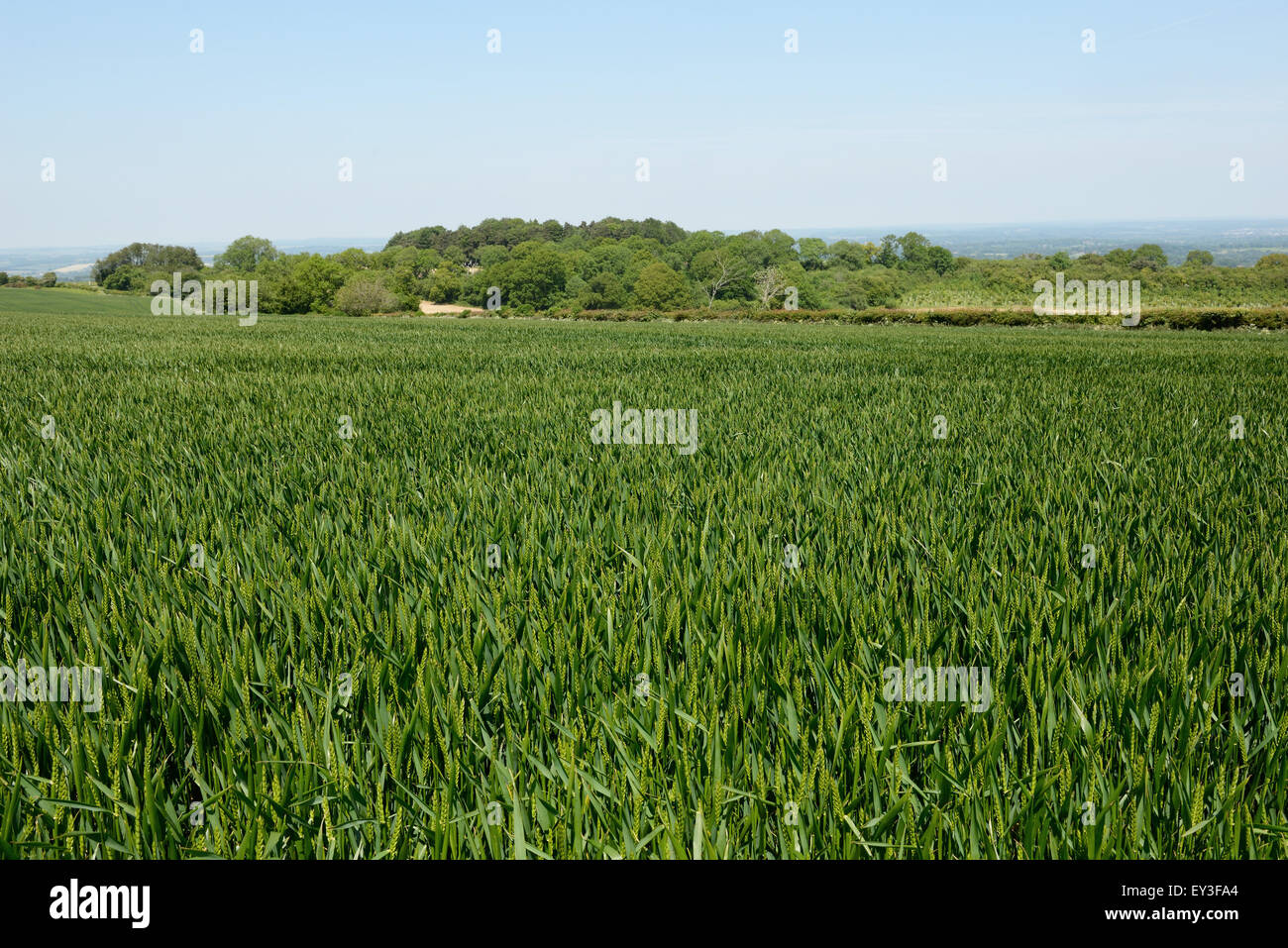 Downland winter wheat crop with some ears emerging stage 50, Berkshire, June - Stock Image