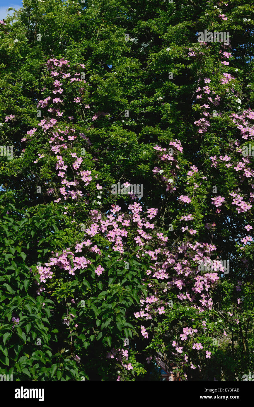 Ornamental climber Clematis montana climbing through a large hawthorn tree now draped in pink flowers, Berkshire, - Stock Image