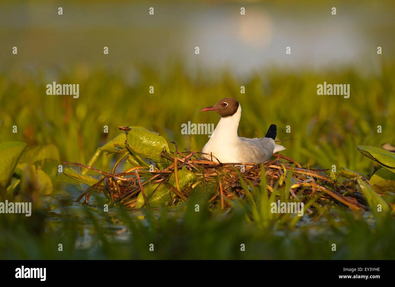 Black-headed Gull (Larus ridibundus) adult in breeding plumage, sitting on nest, Danube delta, Romania, May Stock Photo