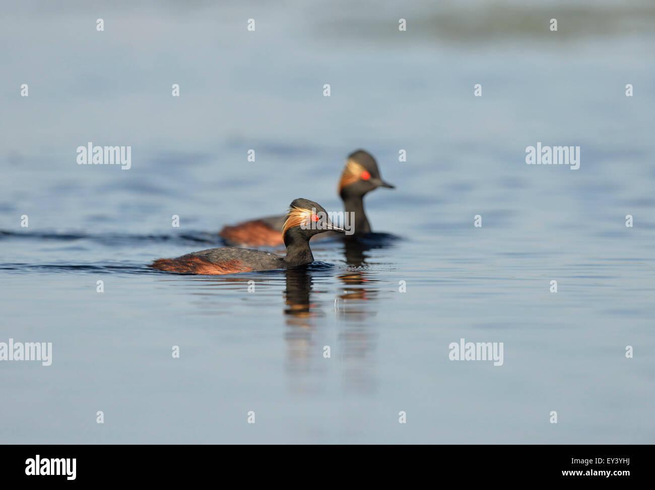 Black-necked Grebe (Podiceps nigricollis) pair swimming, Danube delta, Romania, May - Stock Image
