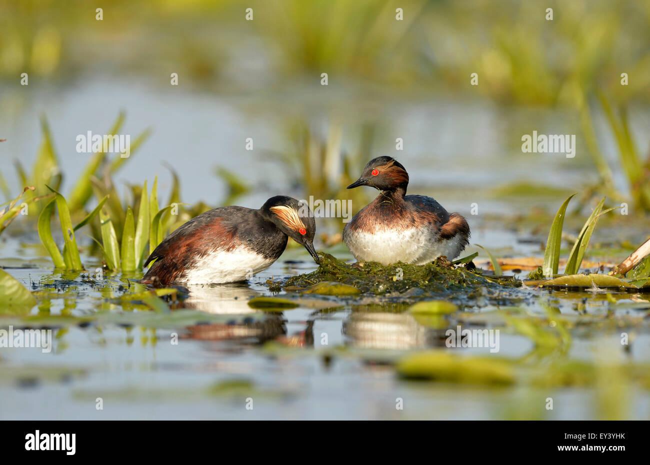 Black-necked Grebe (Podiceps nigricollis) pair at nest, Danube delta, Romania, May - Stock Image