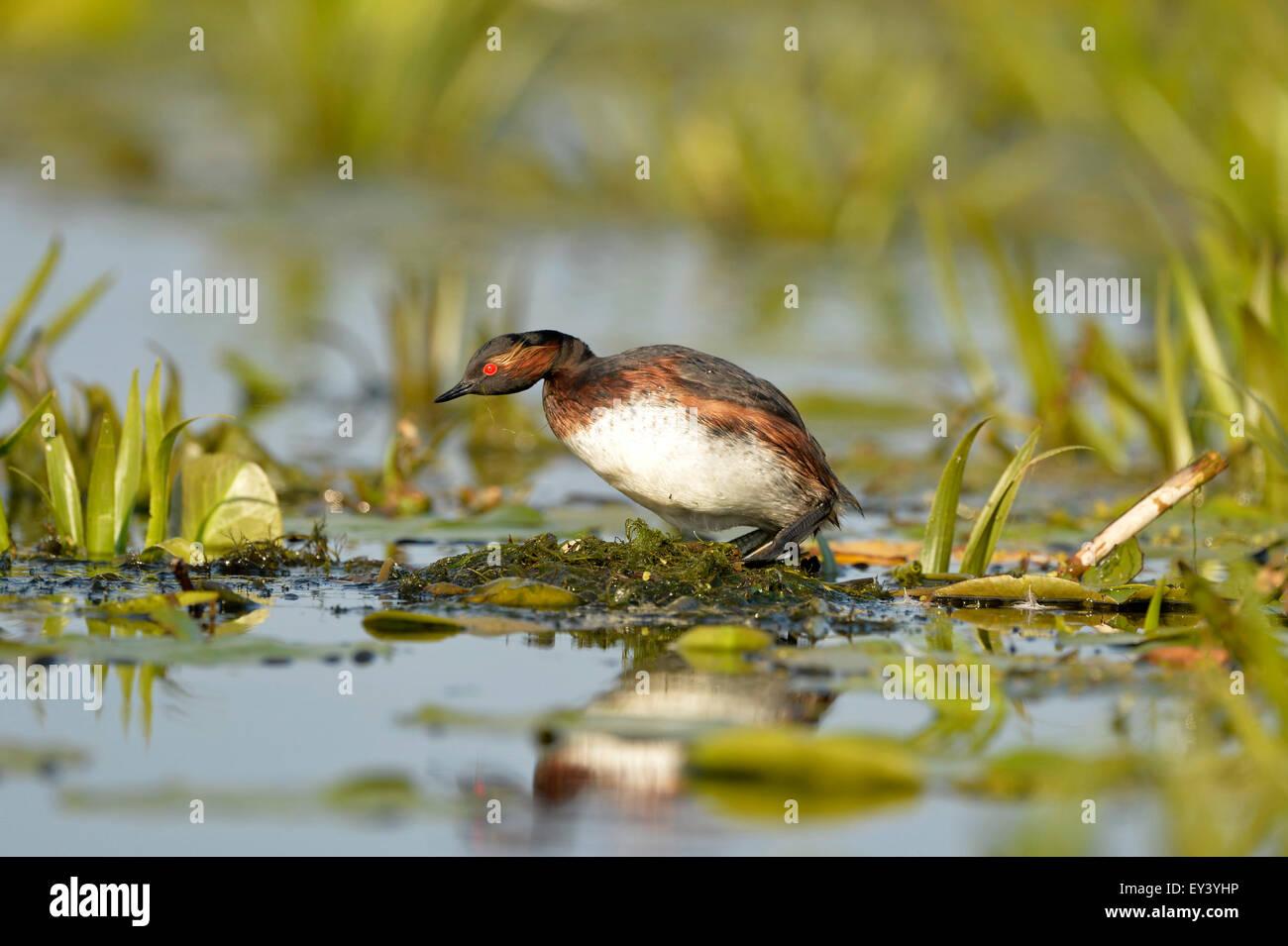 Black-necked Grebe (Podiceps nigricollis) adult at nest, Danube delta, Romania, May - Stock Image
