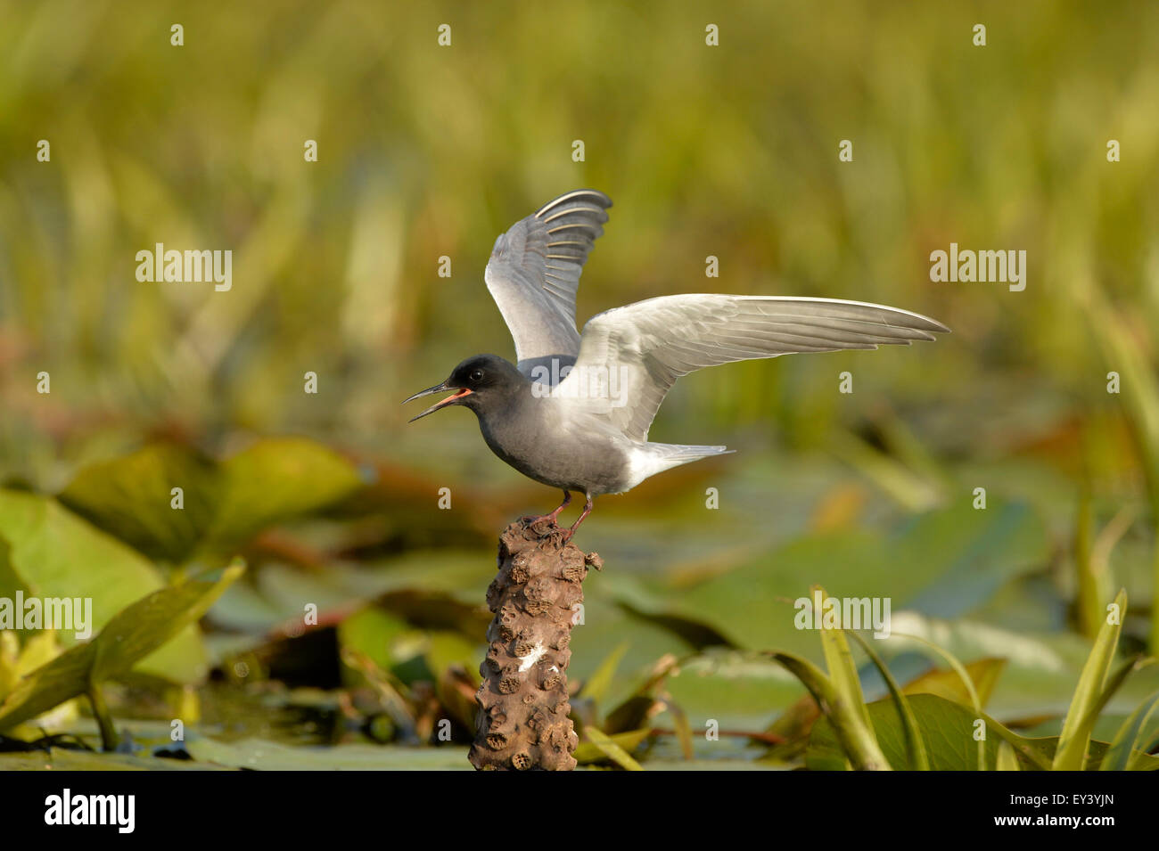 Black Tern (Chlidonias niger) adult in breeding plumage, standing on stump with wings raised, Danube delta, Romania, - Stock Image