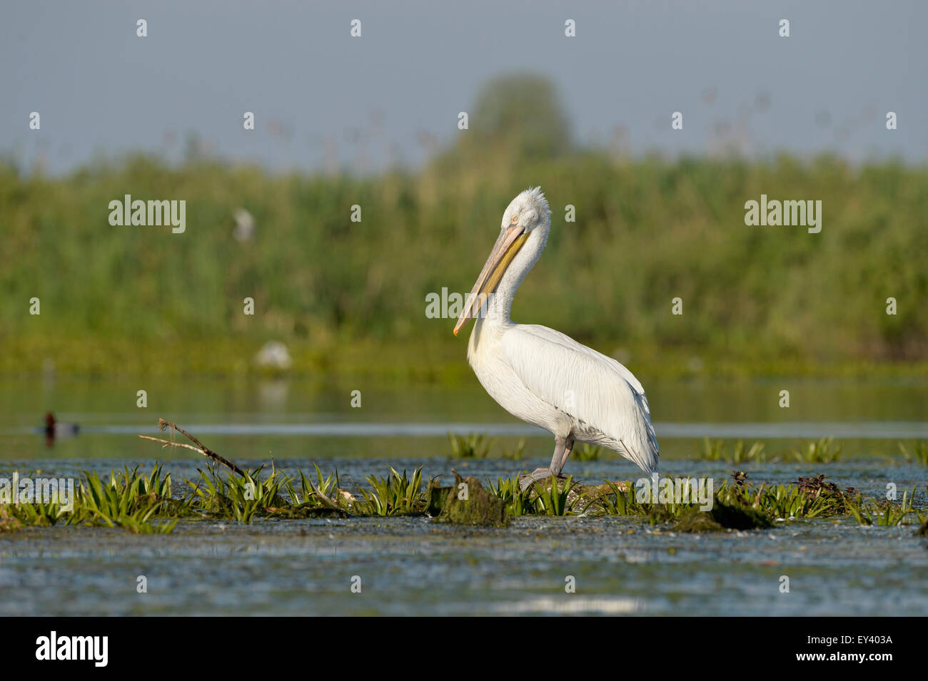 Dalmatian Pelican (Pelecanus crispus) standing in water on aquatic vegetation, Danube delta, Romania, May - Stock Image