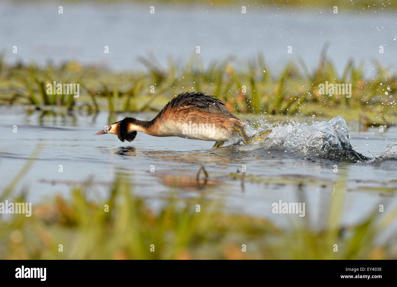Great Crested Grebe (Podiceps cristatus) adult running across water surface, in aggressive posture, Danube delta, - Stock Image
