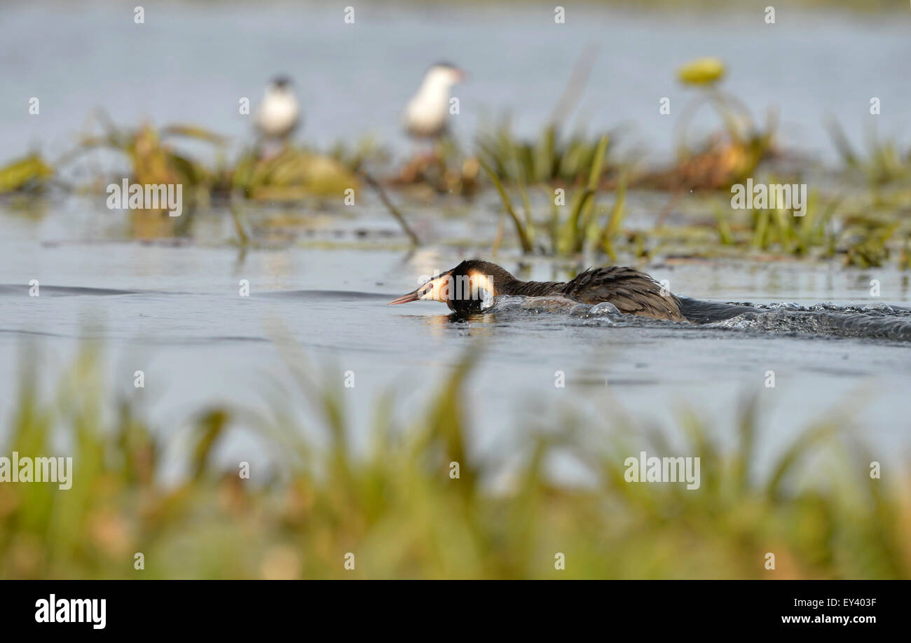 Great Crested Grebe (Podiceps cristatus) adult on water in aggressive threat display, Danube delta, Romania, May - Stock Image
