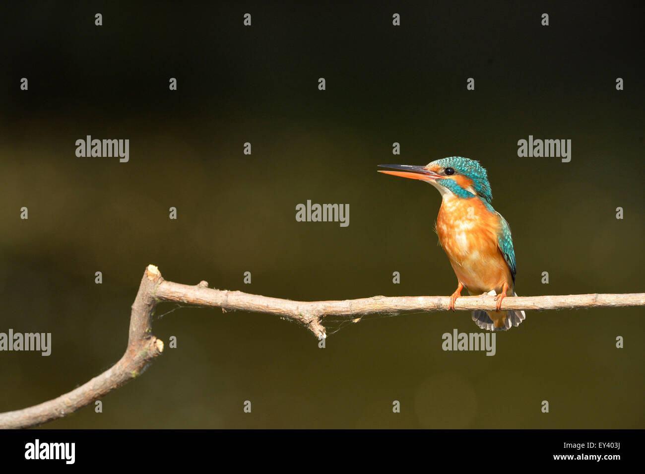 Common Kingfisher (Alcedo atthis) adult female perched on branch, Danube delta, Romania, May Stock Photo