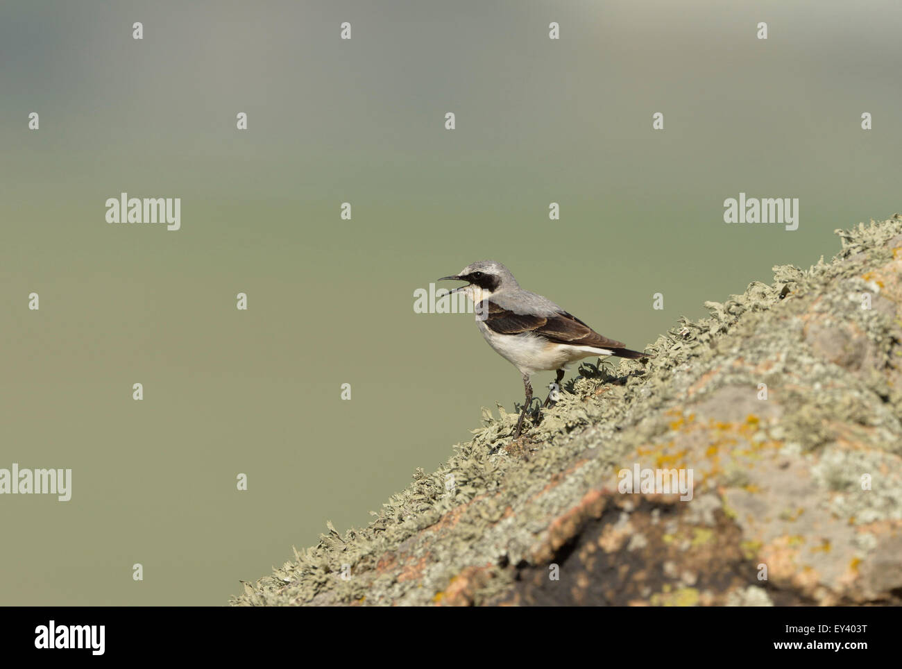 Northern Wheatear (Oenanthe oenanthe) adult male calling, perched on lichen covered rock, Romania, May - Stock Image