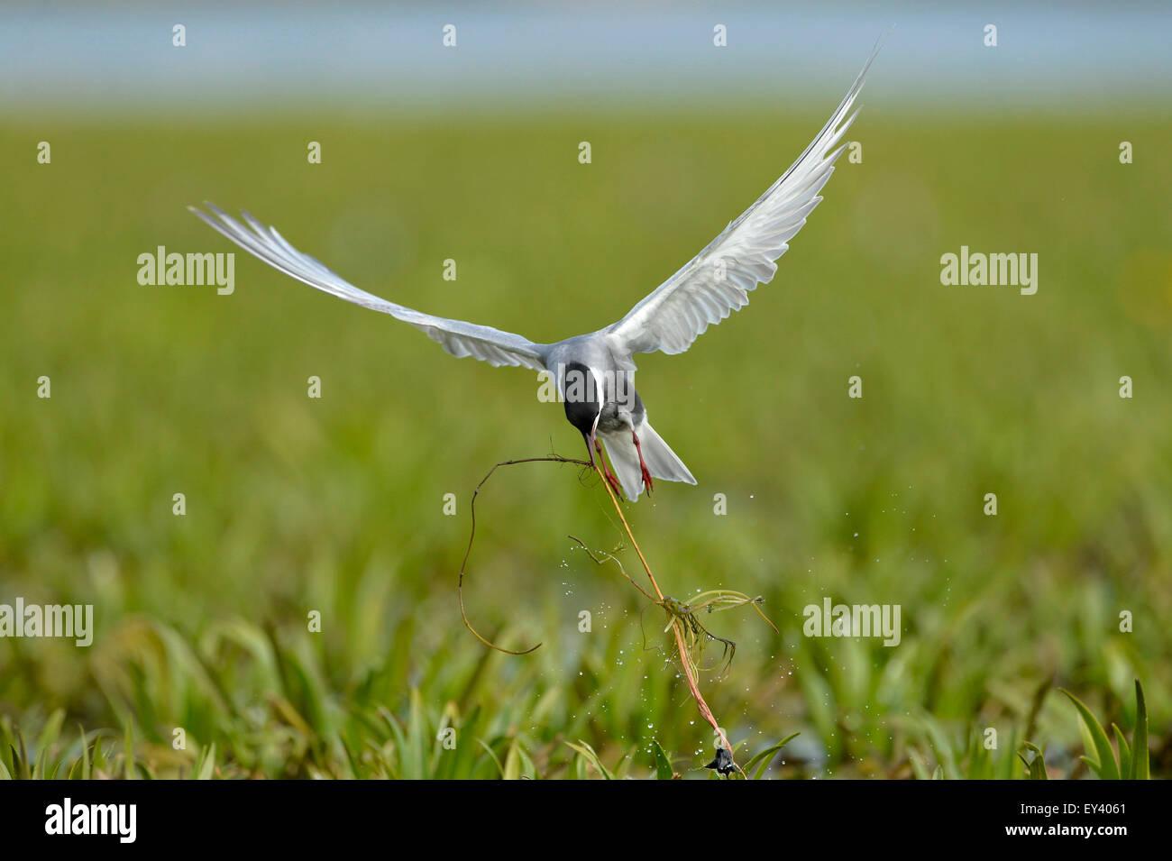 Whiskered Tern (Chlidonias hybrida) adult in breeding plumage, in flight tugging at vegetation, Danube delta, Romania, - Stock Image