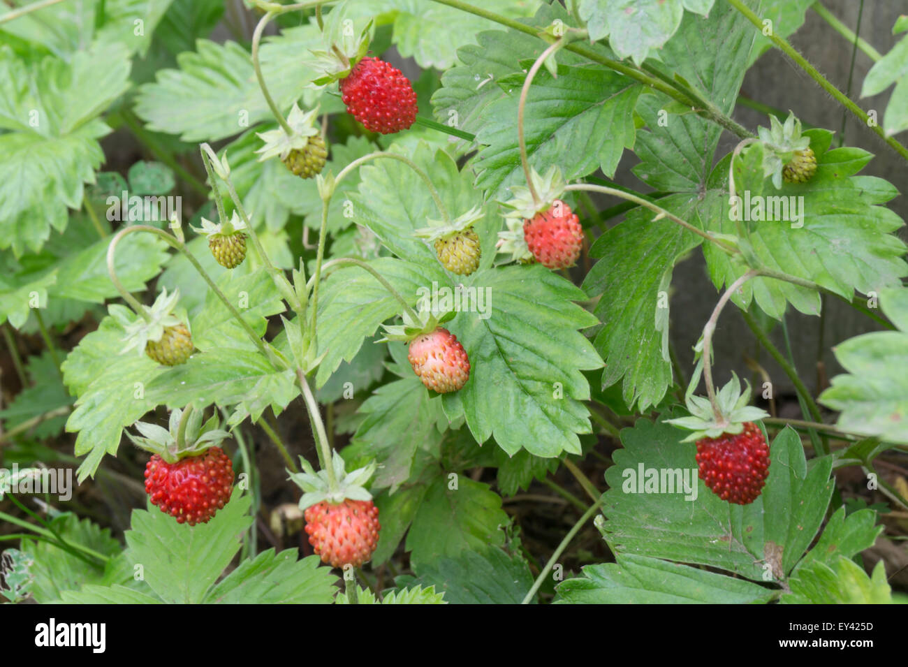 Red strawberry on background green sheet - Stock Image