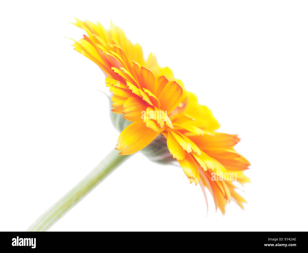 Marigold flowers on a white background stock photo 85526854 alamy marigold flowers on a white background mightylinksfo