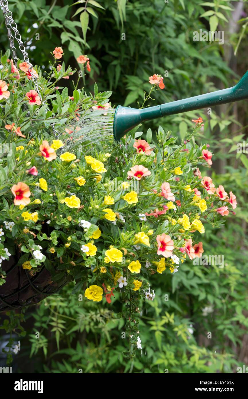 Calibrachoa Million Bells Series. Watering a hanging basket of petunia flowers - Stock Image