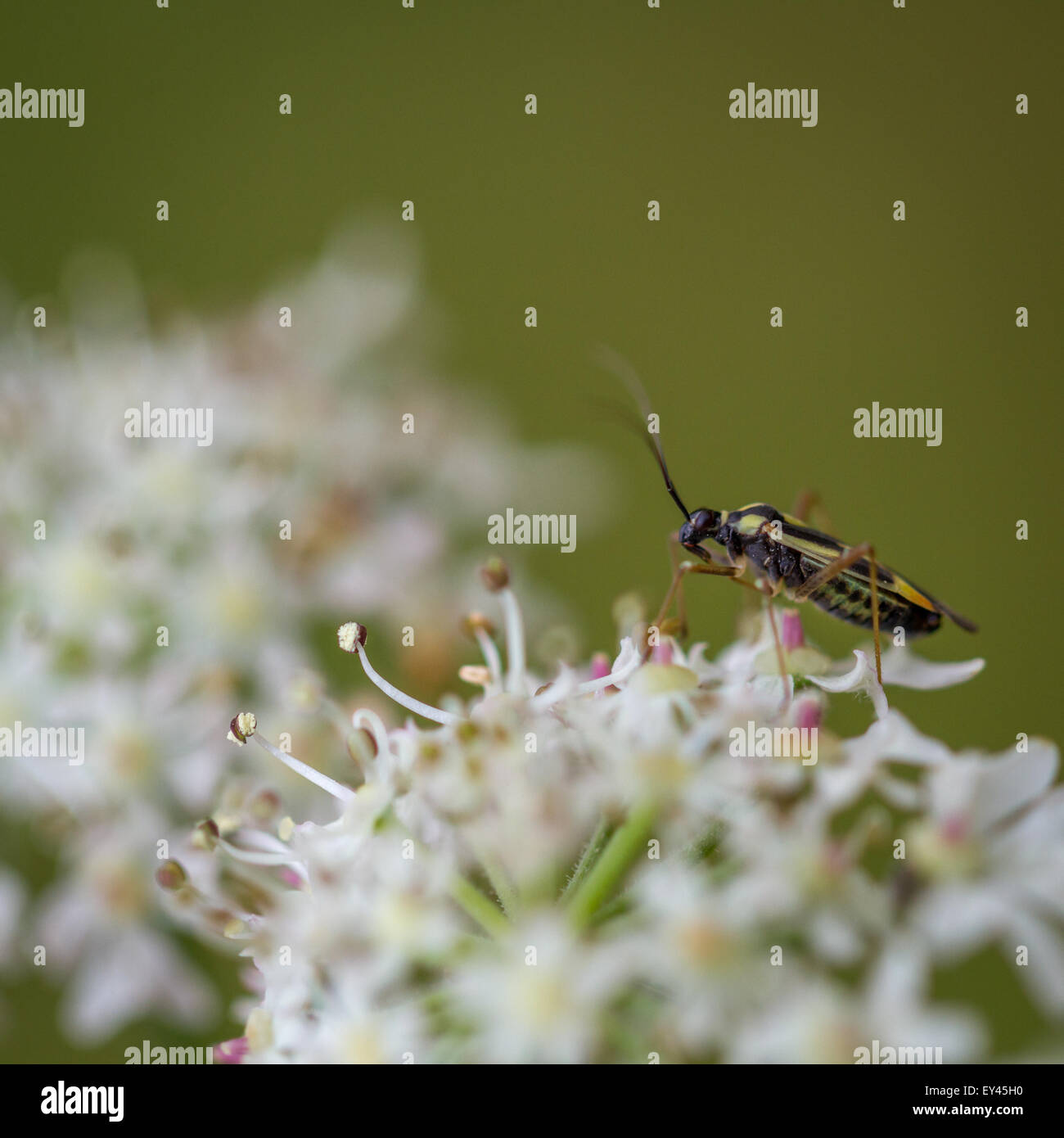 Grypocoris (Lophyromiris) stysi drinking nectar from hogweed, Yorkshire, UK - Stock Image