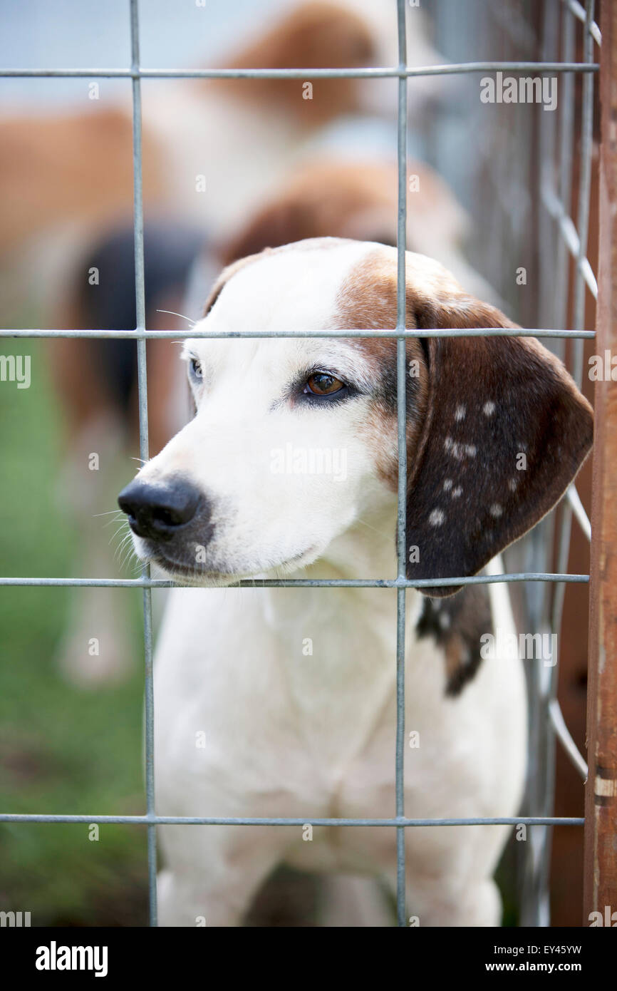Fox hounds in a cage - Stock Image