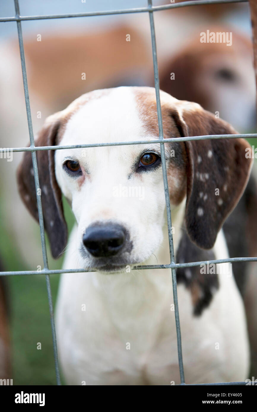 A fox hound in a cage - Stock Image