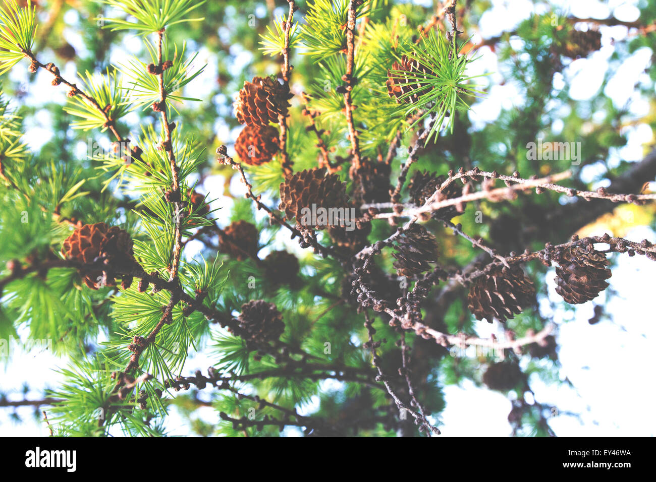 A tree filled with many small pinecones! - Stock Image