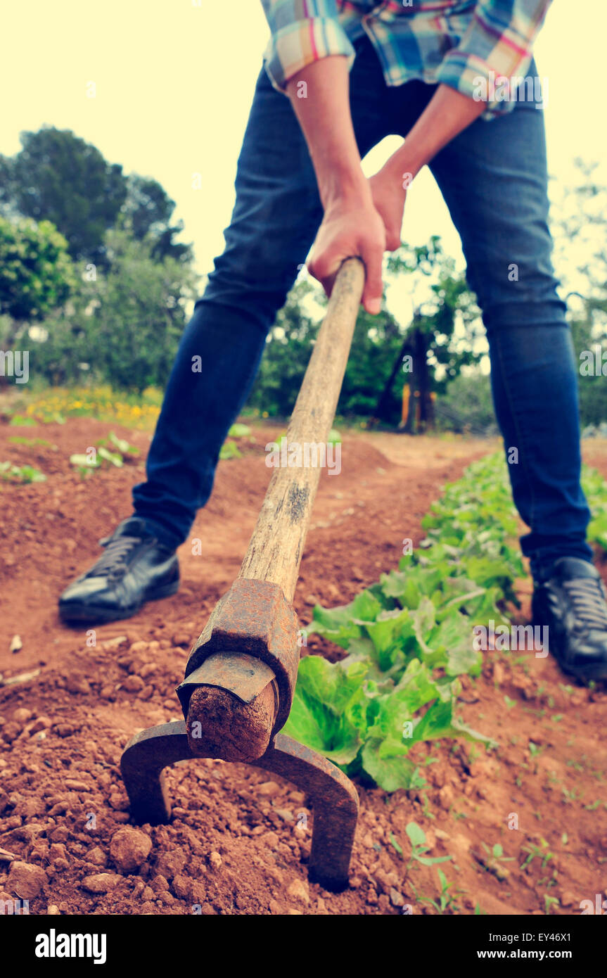 a young urbanite man digging in a garden of lettuce - Stock Image