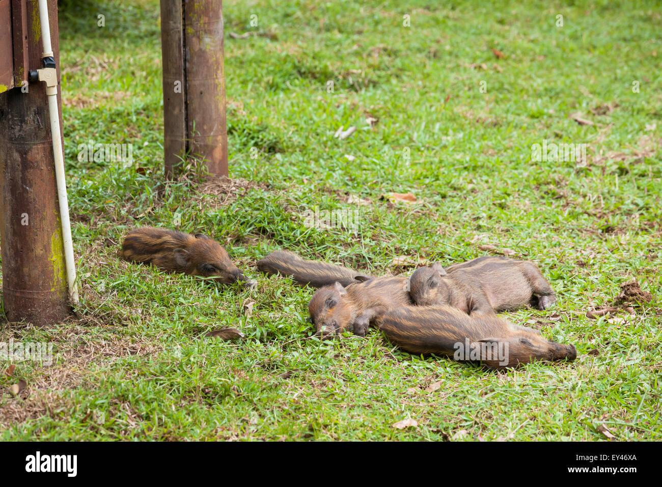 Baby wild boars sleeping on grass - Stock Image