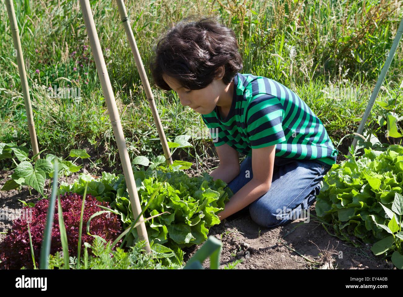 Little boy in the vegetable garden digging up fresh green endive - Stock Image