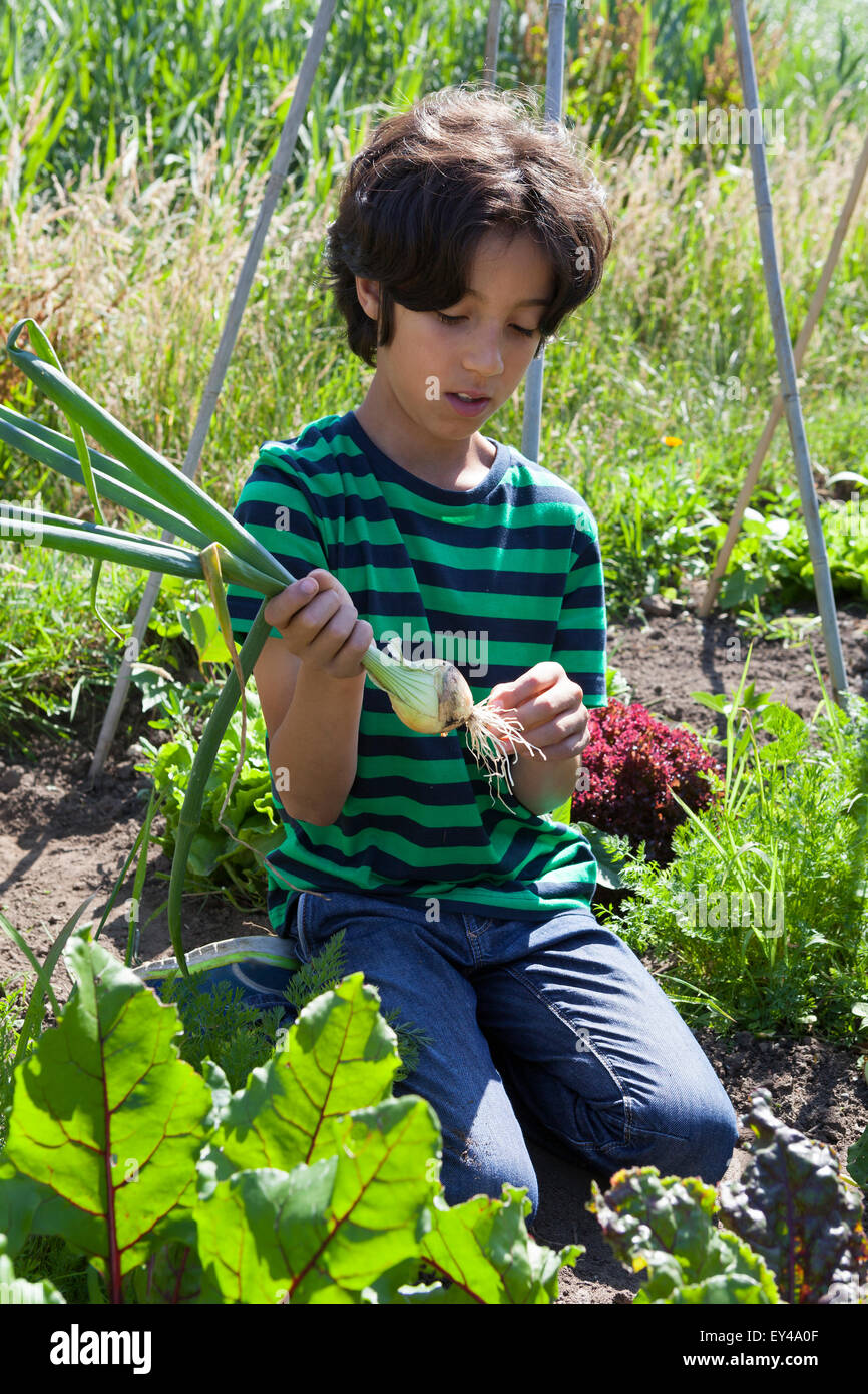 Little boy in the vegetable garden looking at a fresh picked onion - Stock Image