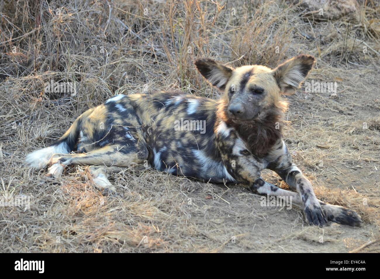 Wild Dog on an African Safari lying very relaxed in the afternoon sunshine. - Stock Image