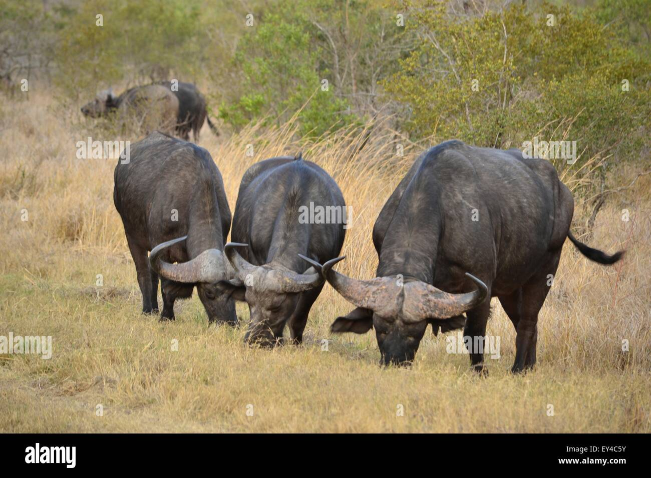 African Buffalos grazing. - Stock Image