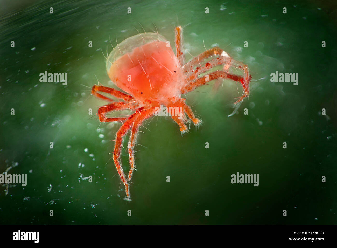 Whirligig Mite, Anystis baccarum - Stock Image