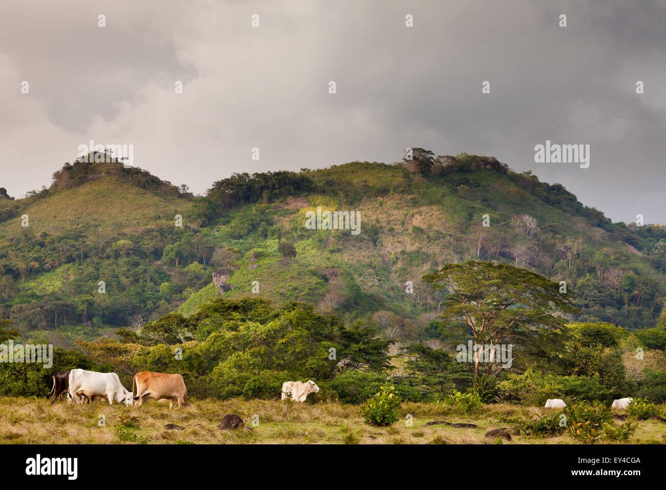 Cattle in the farmlands near La Pintada in the Cocle province, Republic of Panama. Stock Photo