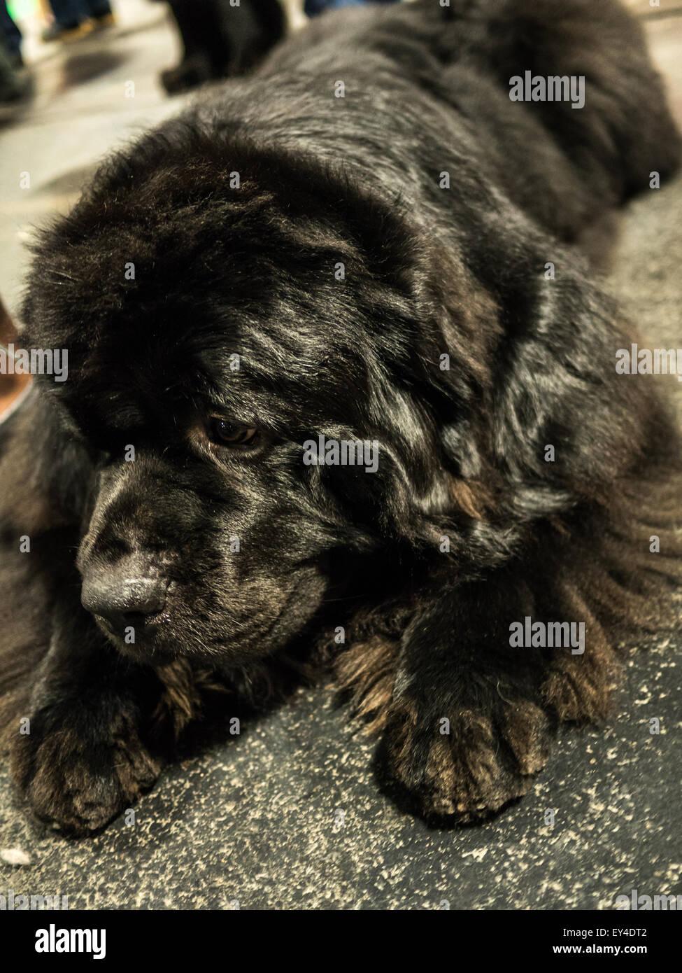 Beautiful Newfoundland dog - Stock Image