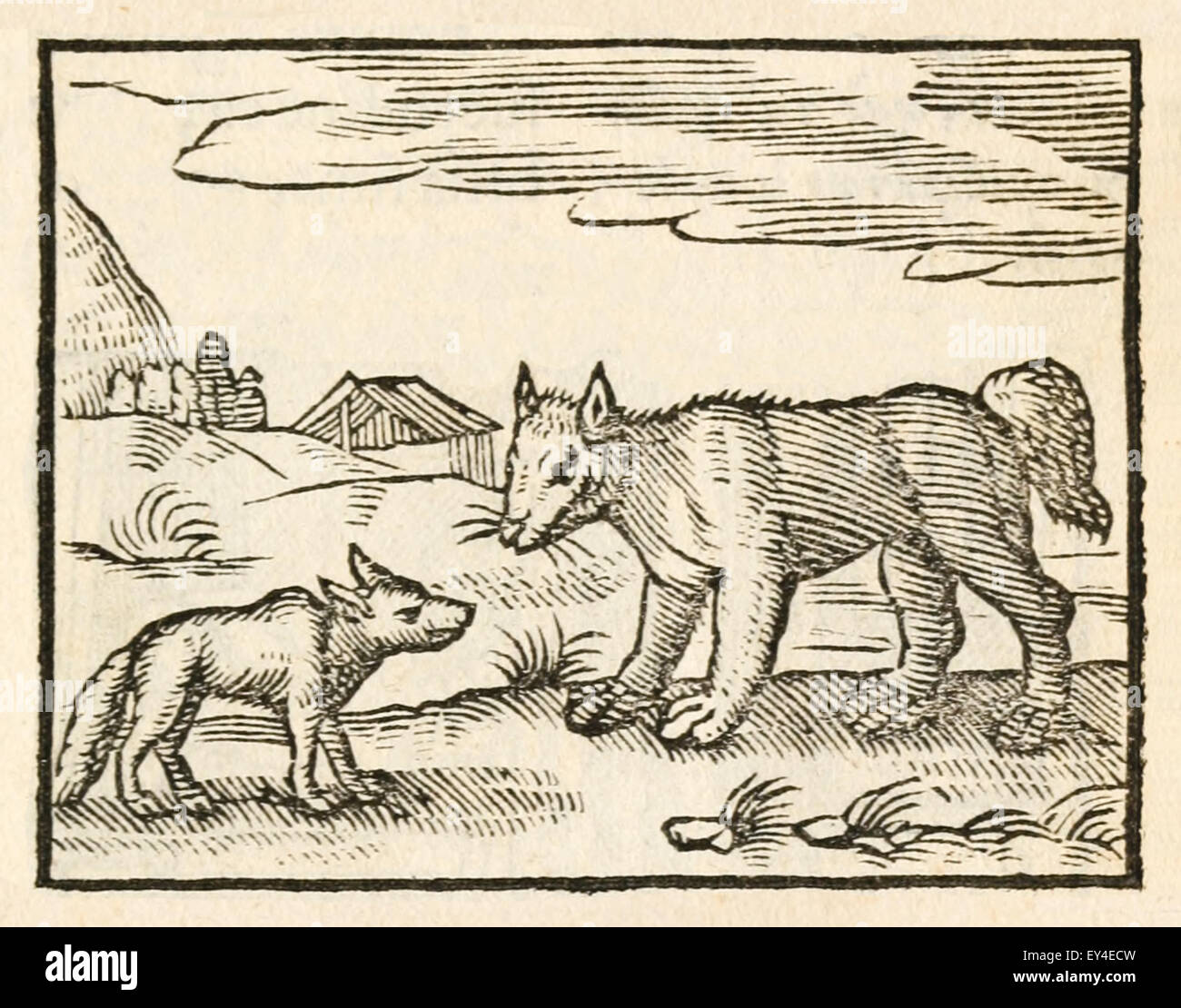 'The Dog and the Wolf' fable by Aesop (circa 600BC). A famished wolf meets a well-fed dog and compliments - Stock Image