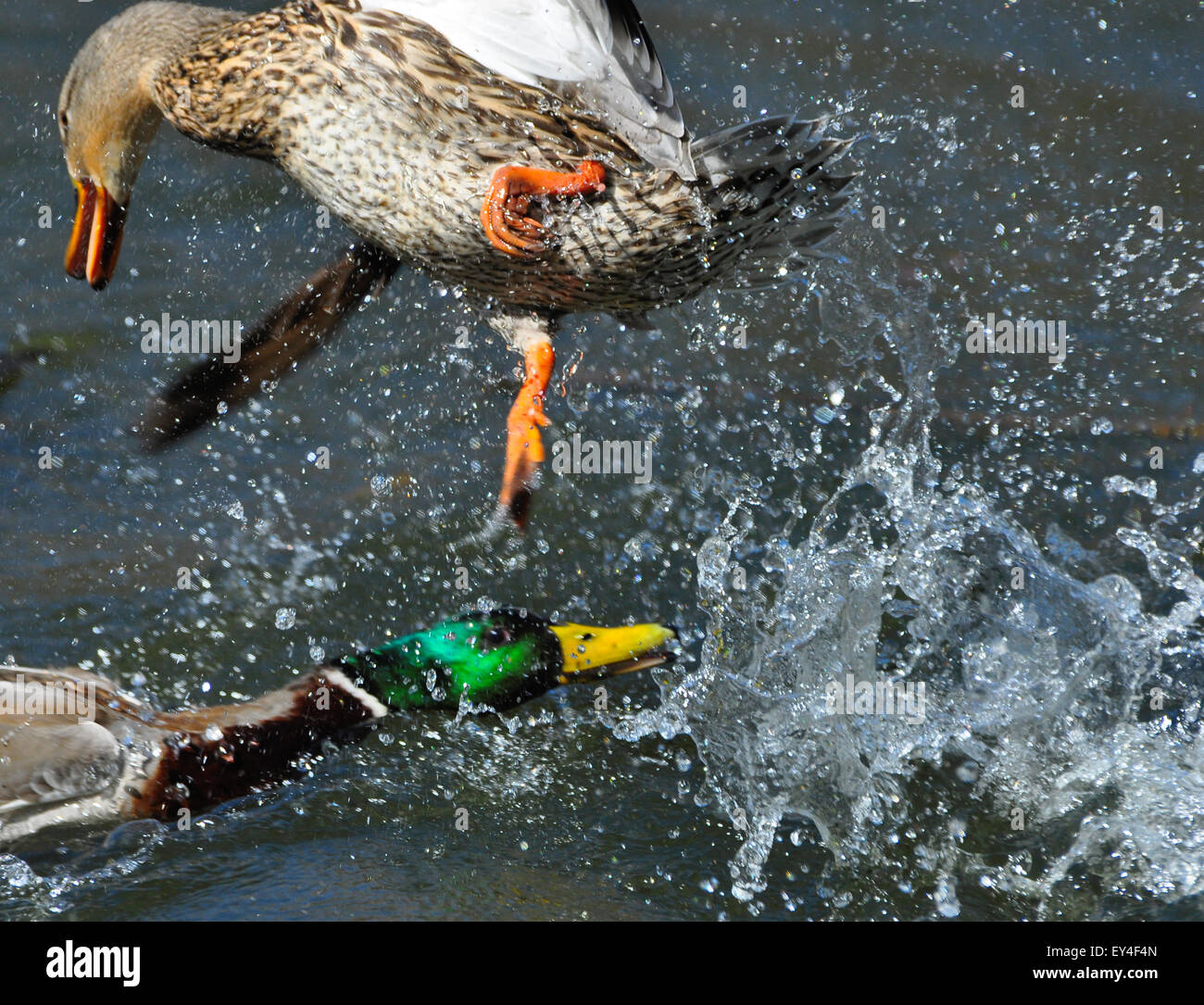 Mallard Duck Breeding Season: The Pursuit - Stock Image
