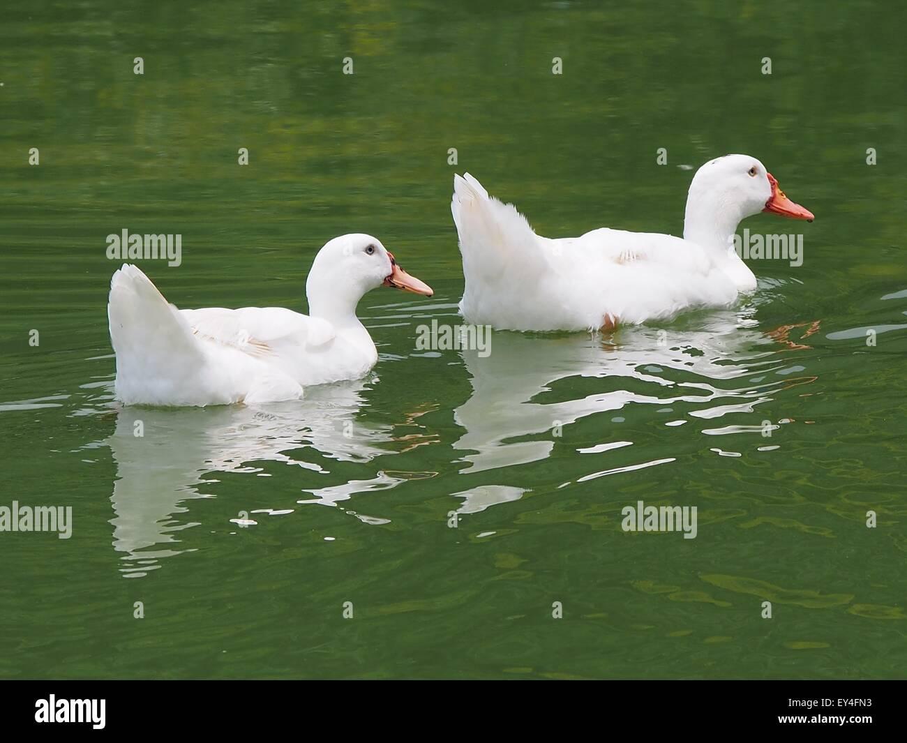 American Pekin ducks on water - Stock Image