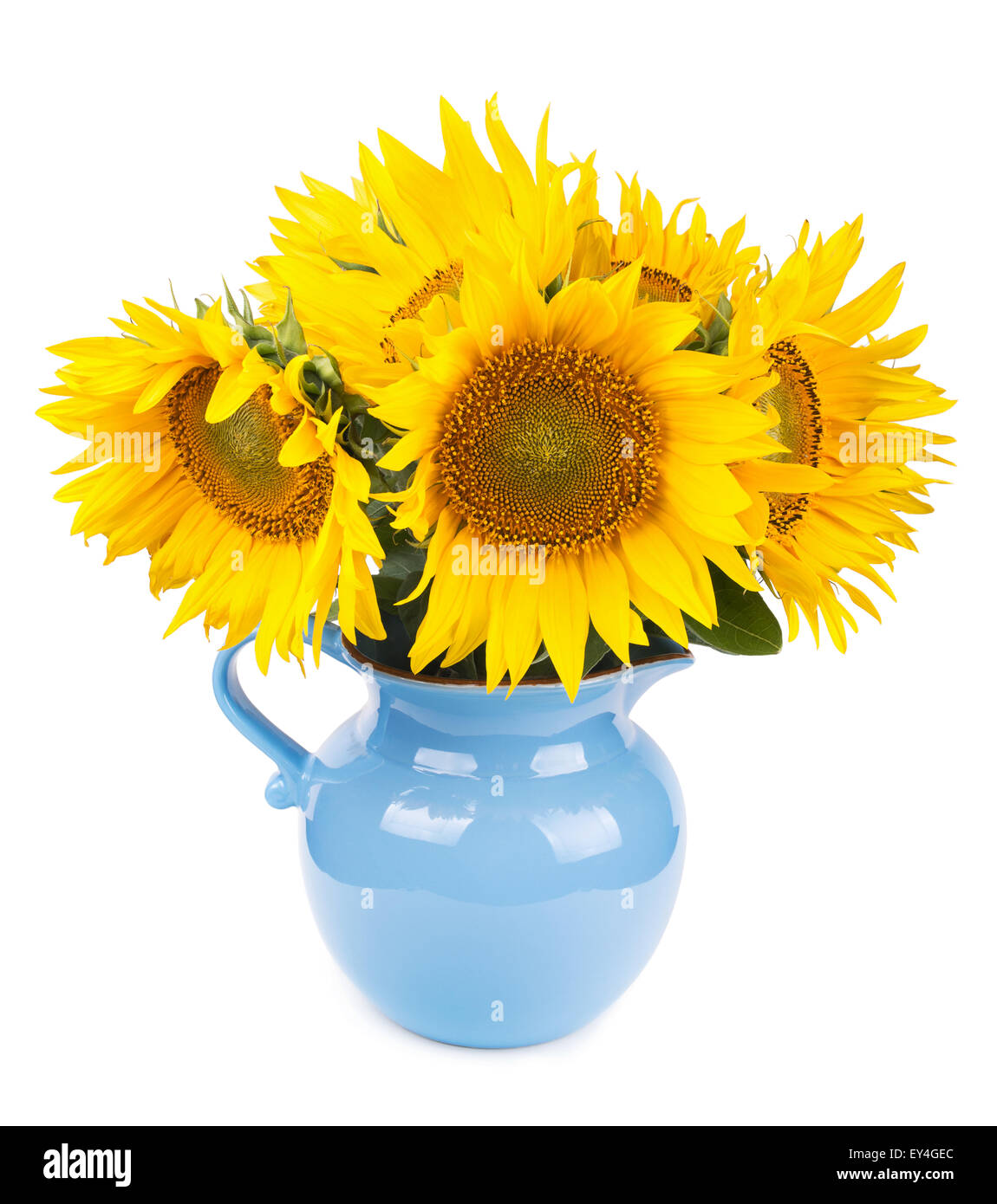 bouquet of sunflowers in blue pitcher isolated on white - Stock Image