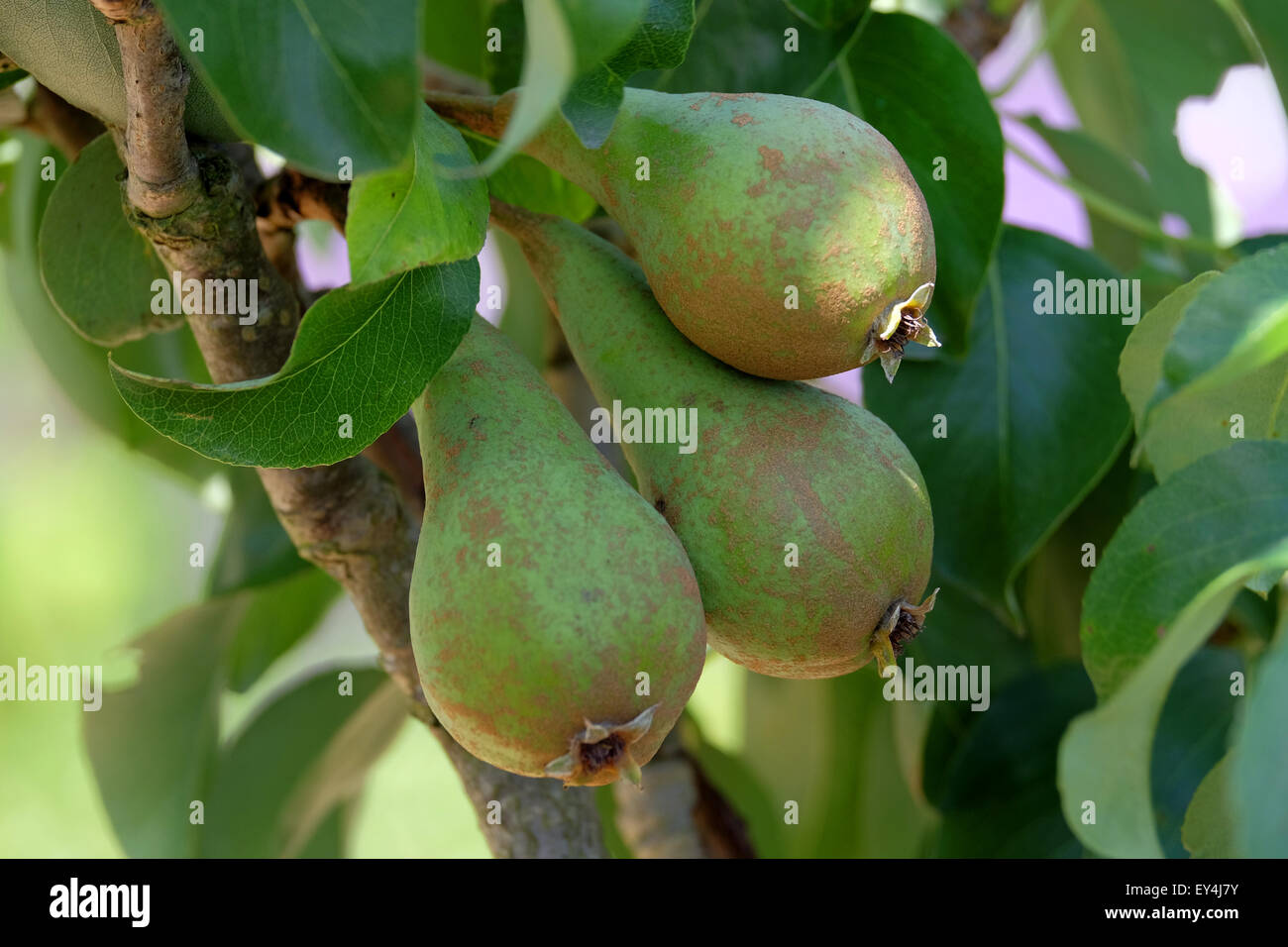 Doyenne-Du-Comice pears growing on the tree in the UK - Stock Image