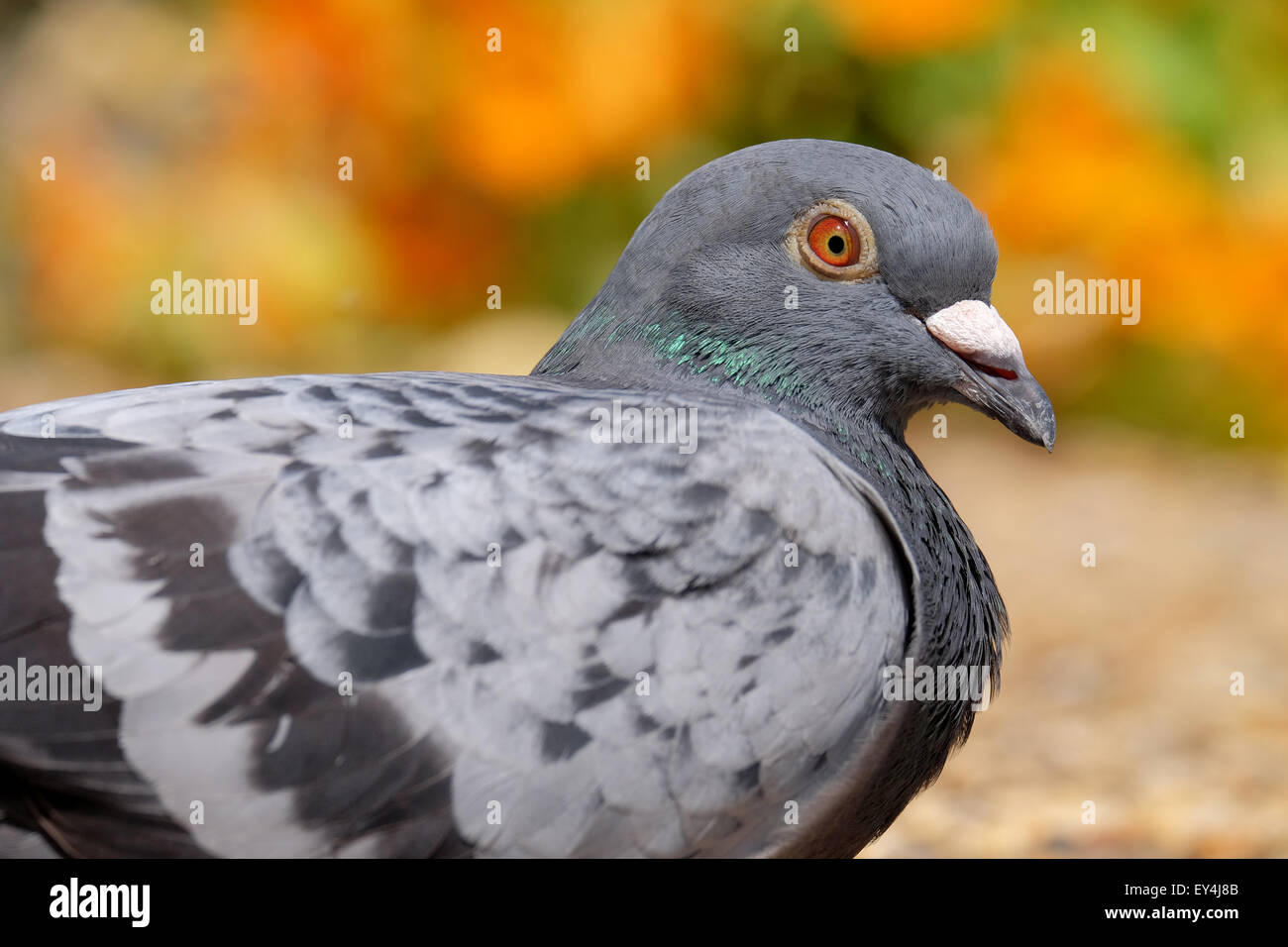 A pigeon resting in a colourful garden in Hampshire UK - Stock Image