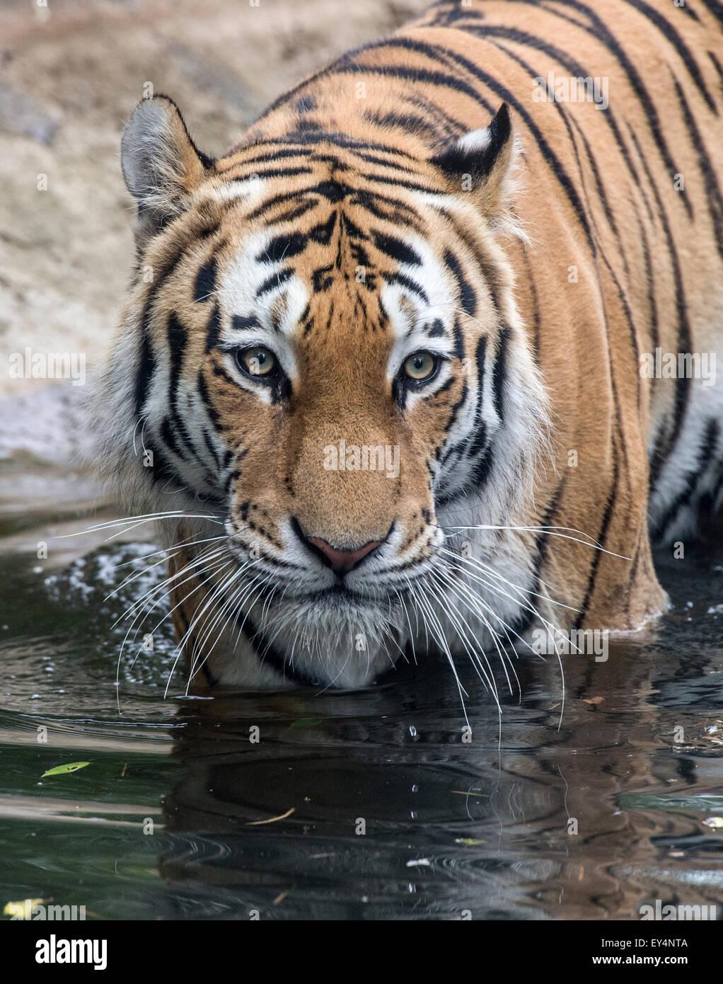 Male Amur (Siberian) tiger in pool - Stock Image