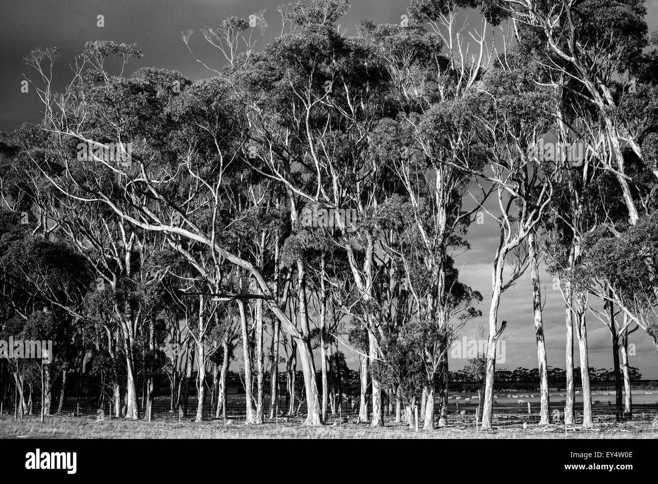 Eucalyptus trees on the roadside near Lismore, Victoria, Australia - Stock Image