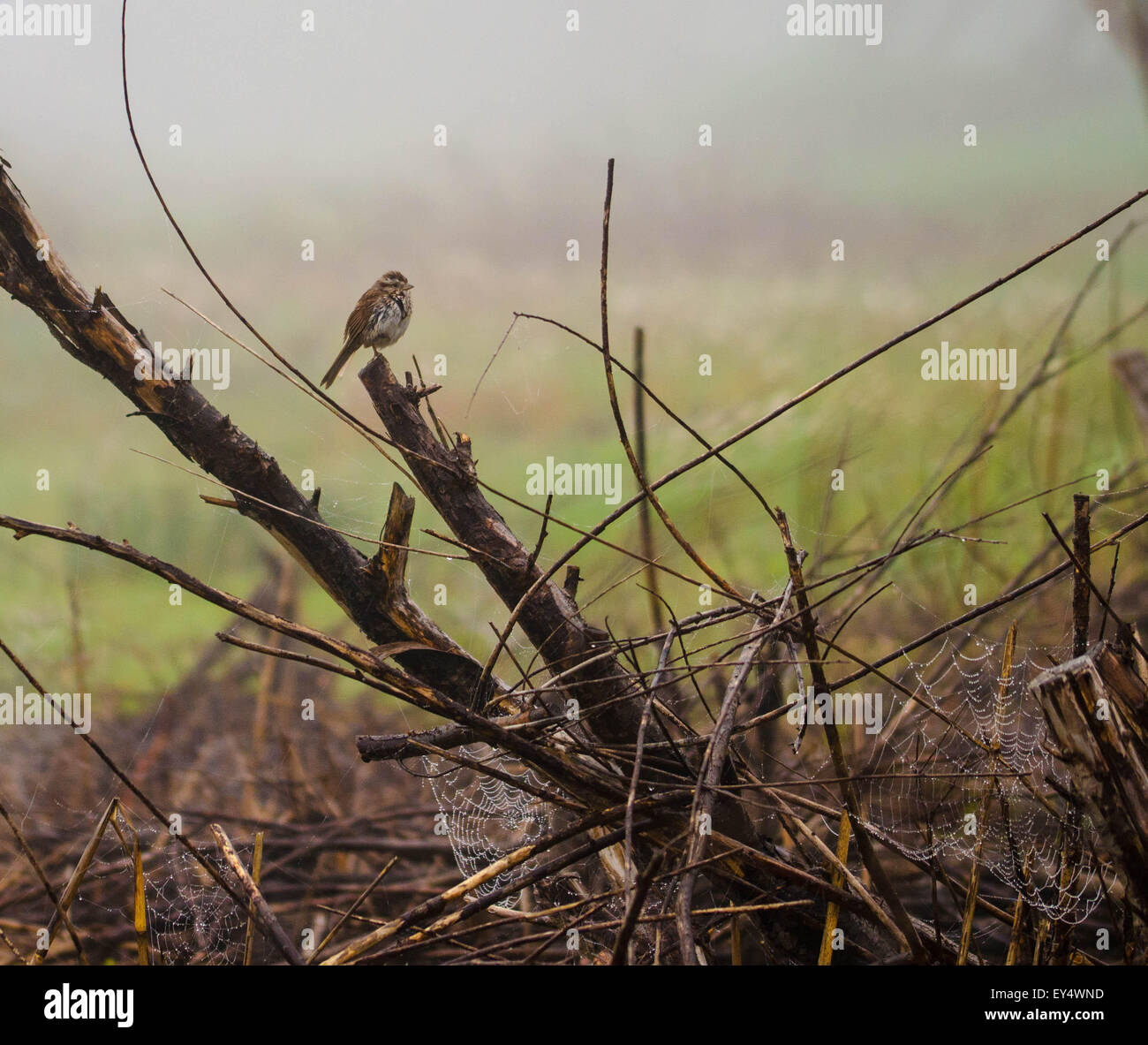 Sparrow, webs and fog. - Stock Image