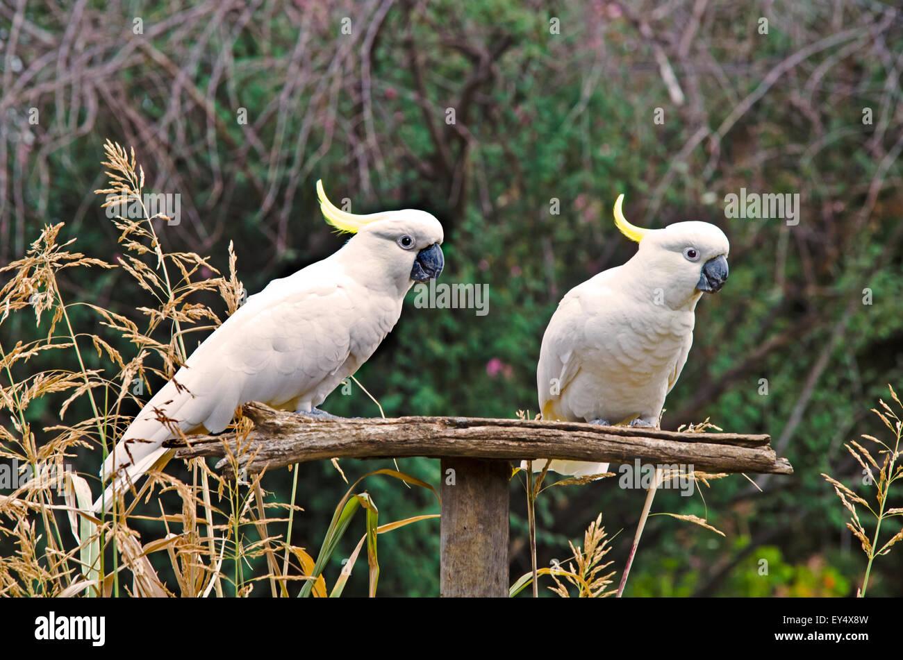 Two Sulphur-Crested Cockatoos, Cacatua galerita - Stock Image