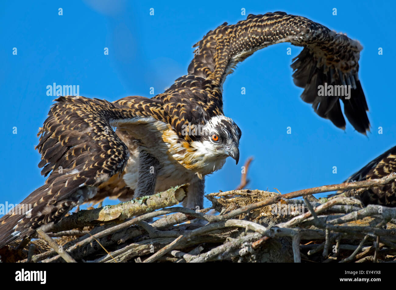 Osprey Chick Working out the Wings - Stock Image