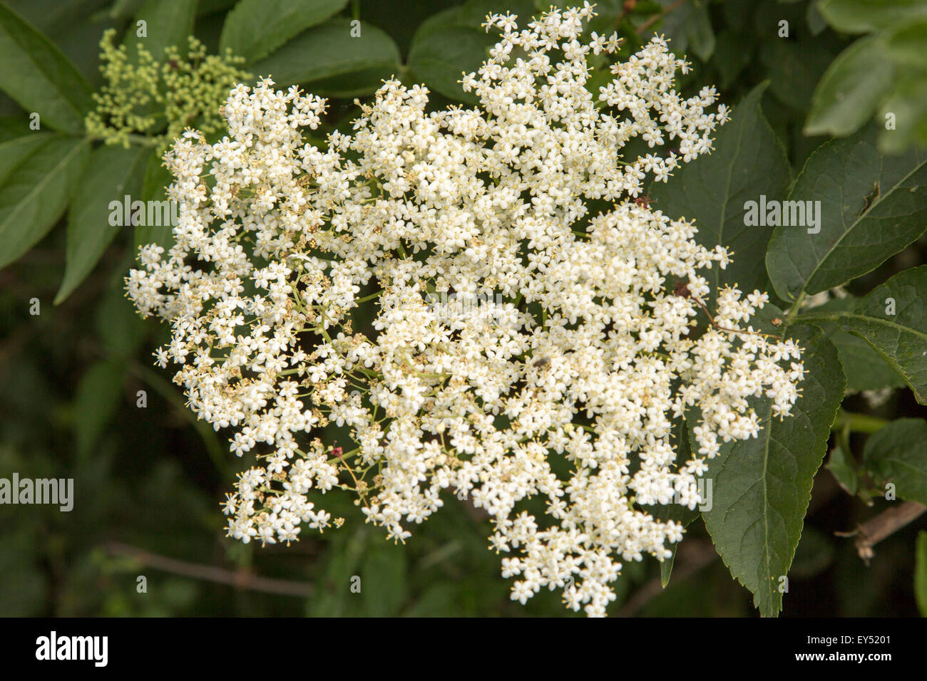 Close up of flowers of European elder tree, Sambucus nigra, Suffolk, England, UK - Stock Image