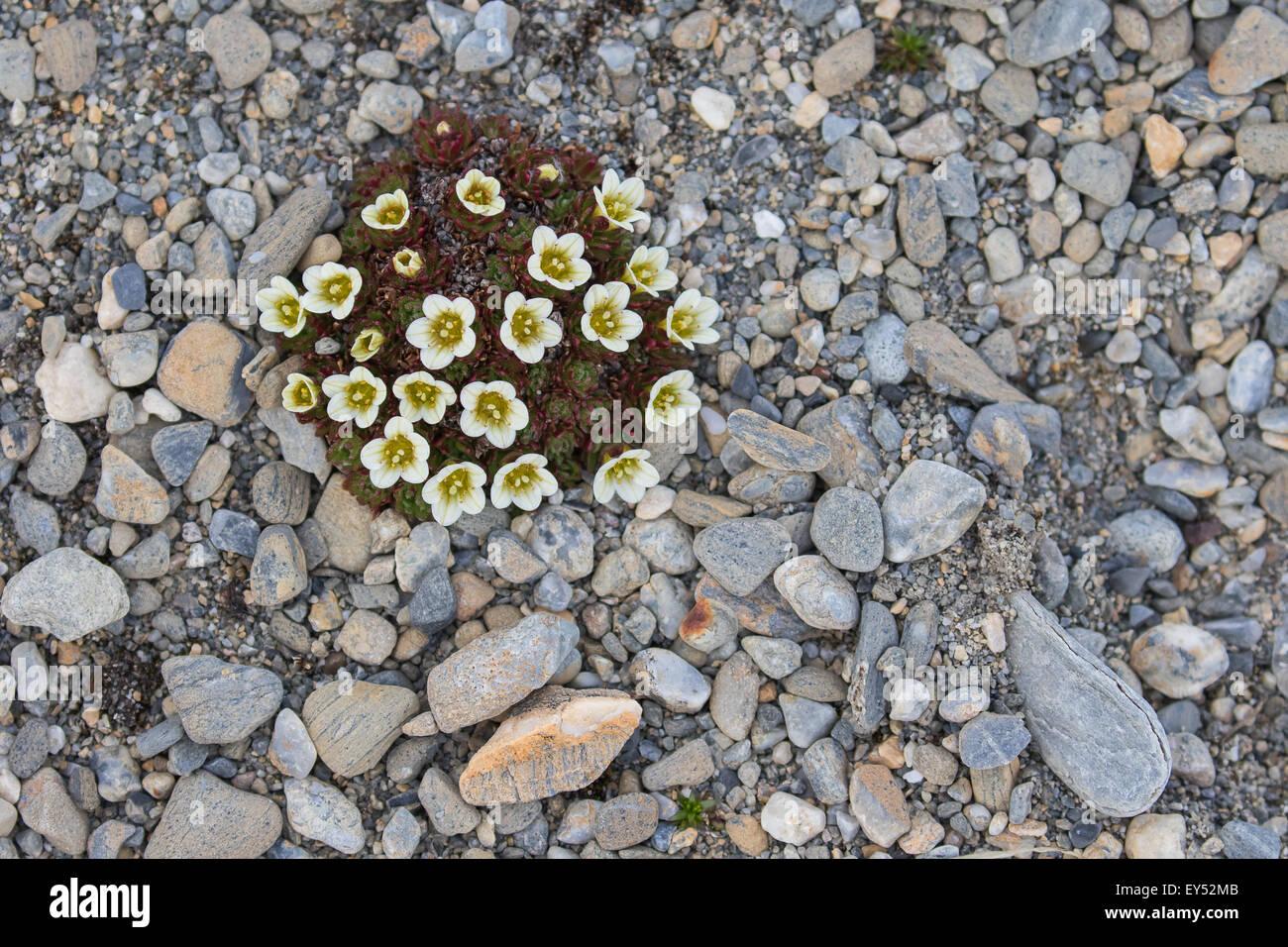 Irish Saxifrage (Saxifraga rosacea), Recherchefjorden, Spitsbergen, Norway Stock Photo
