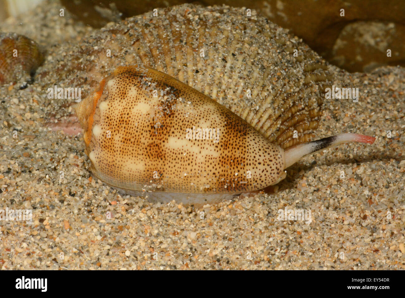 Sand-dusted Cone on sand - New Caledonia - Stock Image