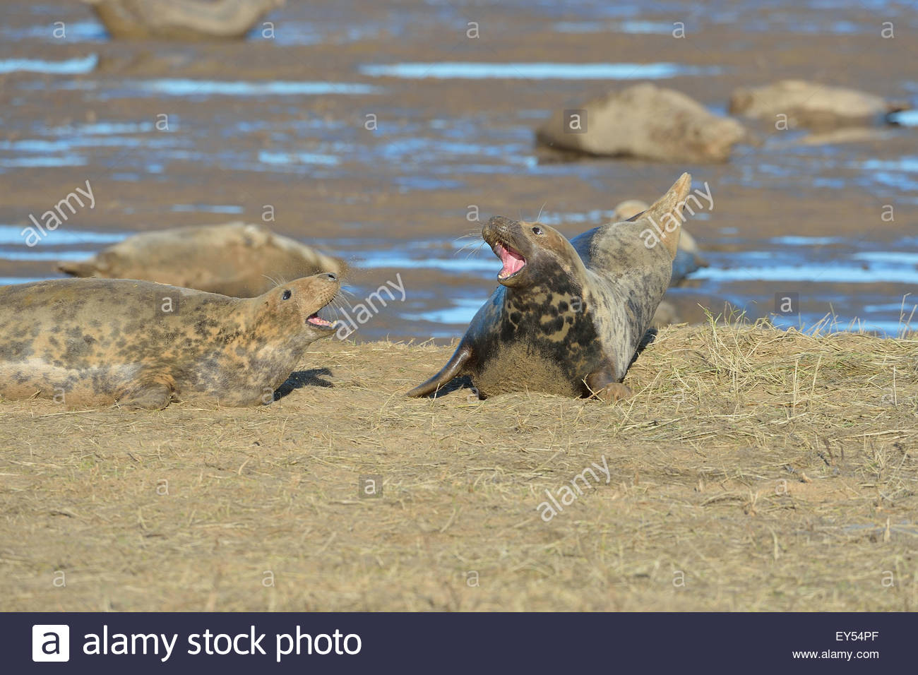 Females Grey Seals grunting in a colony in winter - GB - Stock Image