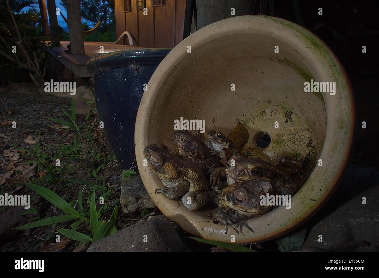 Cane Toads in plant pot - Fiji - Stock Image