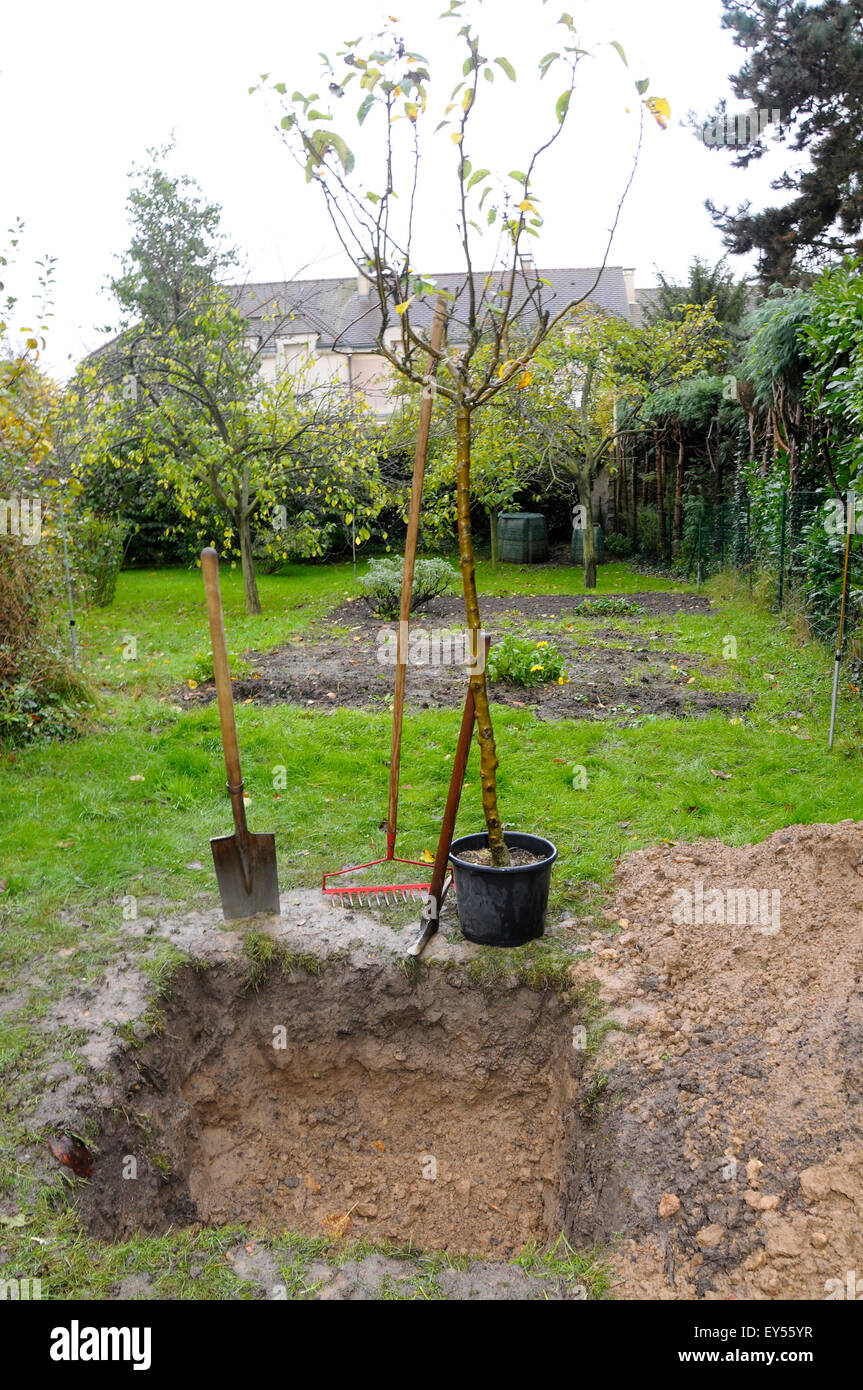 How to plant an apple tree in spring, summer or autumn Proper grafting of apple trees 57