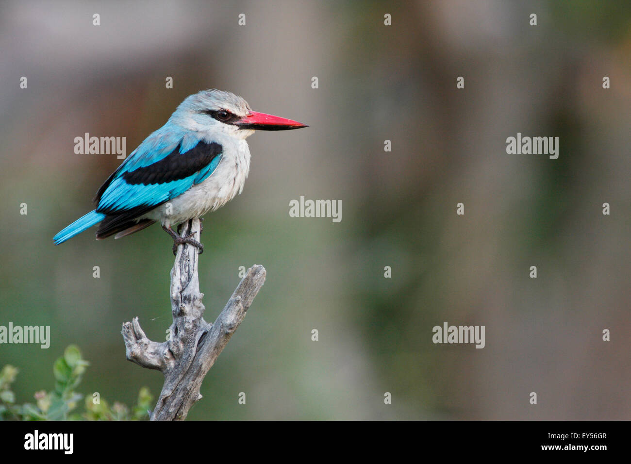 Angola Kingfisher on a branch - Kruger South Africa - Stock Image